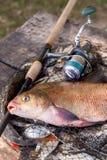 Pêche de trophée Vue haute étroite de grands poissons communs d'eau douce de brème et de canne à pêche avec la bobine sur l'épuis photographie stock libre de droits