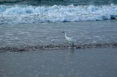 Pêche de vague déferlante d'oiseau photo stock