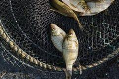 Pêche fraîche de carpe dans la cage Photographie stock