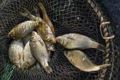 Pêche fraîche de carpe dans la cage Photographie stock libre de droits