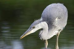 Pêche grise de héron Photo libre de droits