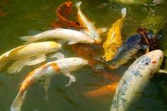 pêche la natation d'étang de koi photographie stock libre de droits