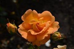 Pêche magnifique Rose Blossom avec des boutons de rose dans un jardin Photographie stock