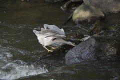 pêche Noir-couronnée de héron sur la rivière Images libres de droits