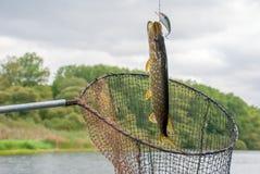 Pêche pour le brochet sur la rivière en été Image libre de droits