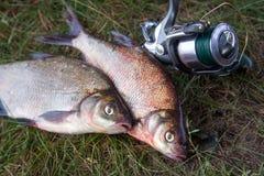 Pêche réussie - deux grands poissons de brème d'eau douce et canne à pêche avec la bobine sur le fond naturel photos stock