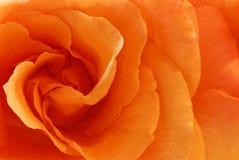 Pêche Rose Photo stock