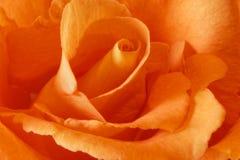 Pêche Rose Photographie stock libre de droits