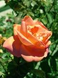 Pêche Rose photos libres de droits