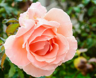 Pêche Rose Photos stock
