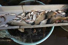 Pêche traditionnelle de la masse d'automne en Bohême du sud, République Tchèque Photographie stock libre de droits