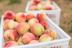 Pêches organiques fraîches de Peaches Heap Of Fresh Ripe Photos libres de droits