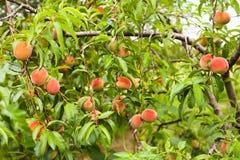 Pêches sur un arbre Photographie stock