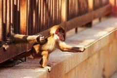 Pêcheur de singe de chéri Photos libres de droits