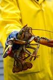 Pêcheur et sa langoustine fraîchement pêchée du Maine Photo libre de droits
