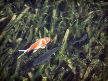 Pêchez dans l'eau foncée, scène naturelle de contraste Images stock