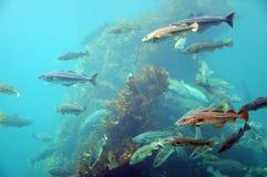 Pêchez en entourant, stationnement atlantique de mer, Norvège image libre de droits