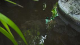 Pêchez la natation dans l'eau transparente dans l'étang de jardin Grande natation de poissons dans l'étang décoratif au jardin d' banque de vidéos