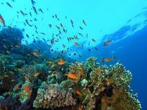 pêchez le banc de récif Images stock