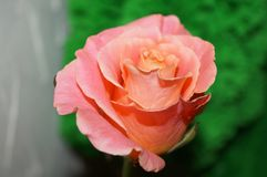 pêssego-colorido aumentou Fotografia de Stock Royalty Free