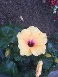 Pêssego e flor roxa Fotos de Stock Royalty Free