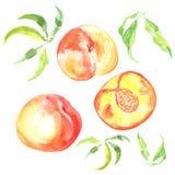 Pêssego maduro fresco tirado mão do fruto da aquarela ilustração royalty free