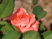 Pêssego Rosa Imagem de Stock