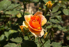 Pêssego Rosa Fotos de Stock Royalty Free
