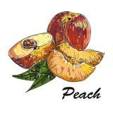 Pêssego tirado mão do estilo do esboço Pêssego e quarto inteiros maduros do pêssego a exploração agrícola fresca frutifica ilustr Fotografia de Stock