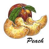 Pêssego tirado mão do estilo do esboço Pêssego e quarto inteiros maduros do pêssego a exploração agrícola fresca frutifica ilustr Foto de Stock