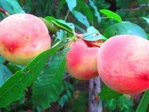 Pêssego - um ponto baixo - fruto da caloria fotos de stock royalty free