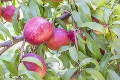 Pêssegos deliciosos em um ramo de árvore fotografia de stock royalty free