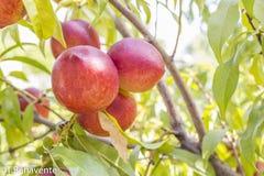 Pêssegos deliciosos em um ramo de árvore fotos de stock