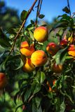 Pêssegos maduros bonitos Fotografia de Stock Royalty Free