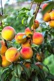 Pêssegos maduros bonitos Fotos de Stock Royalty Free