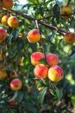 Pêssegos maduros bonitos Foto de Stock Royalty Free