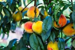 Pêssegos maduros bonitos Imagem de Stock Royalty Free