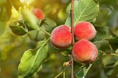 Pêssegos maduros no jardim Imagens de Stock Royalty Free