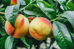 Pêssegos maduros que crescem entre as folhas verdes Imagens de Stock
