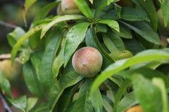 Pêssegos maduros que penduram em uma árvore Foto de Stock