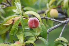 Pêssegos maduros que penduram na árvore Fotografia de Stock Royalty Free