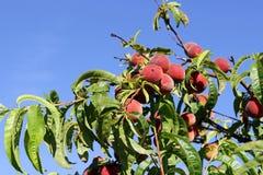 Pêssegos maduros suculentos em uma árvore Fotografia de Stock