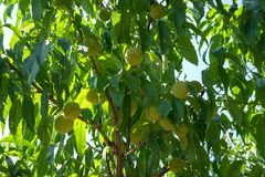 Pêssegos não maduros na árvore Foto de Stock