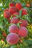 Pêssegos na árvore Fotografia de Stock Royalty Free