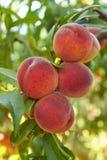 Pêssegos na árvore Imagem de Stock
