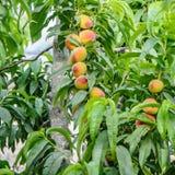 Pêssegos no ramo de árvore Imagens de Stock Royalty Free