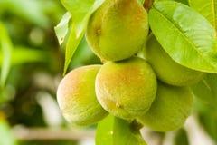 Pêssegos novos em uma filial de árvore Imagem de Stock Royalty Free