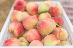Pêssegos orgânicos frescos de Peaches Heap Of Fresh Ripe fotos de stock royalty free