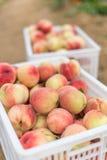 Pêssegos orgânicos frescos de Peaches Heap Of Fresh Ripe fotos de stock