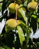 Pêssegos verdes que penduram no ramo com folhas verdes Imagens de Stock Royalty Free